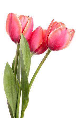 tulipan: Tulipany. Trzy różowe kwiaty samodzielnie na białym tle