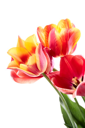 Beautiful red-yellow tulips. Flowers on a white background