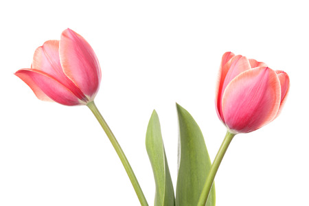 tulips isolated on white background: Tulips. Two flowers isolated on a white background