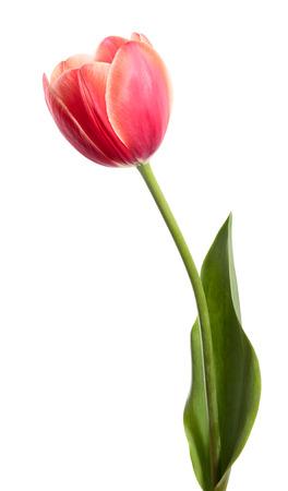 Single flower isolated on white