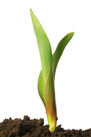 Green sprout of tulip isolated on a white background Standard-Bild