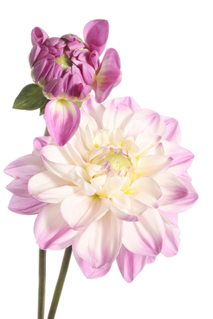Two pink dahlia flowers isolated on a white background Banco de Imagens