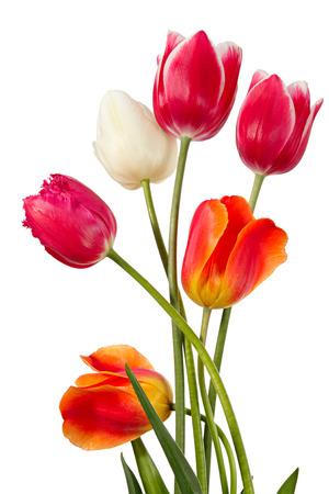 튤립입니다. 여섯 꽃은 흰색에 고립 스톡 콘텐츠