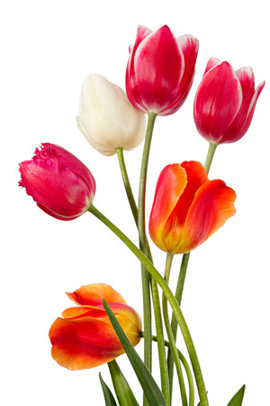 in flower: Tulips. Six flowers isolated on white Stock Photo