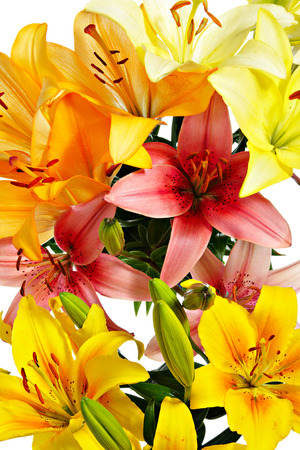 felicitation: Flowers close-up. Variegated lilies isolated on white Stock Photo
