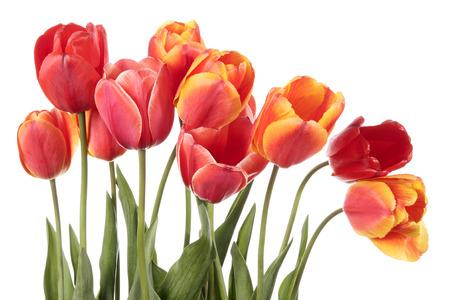 tulipan: Cudowne kwiaty tulipanów na białym tle