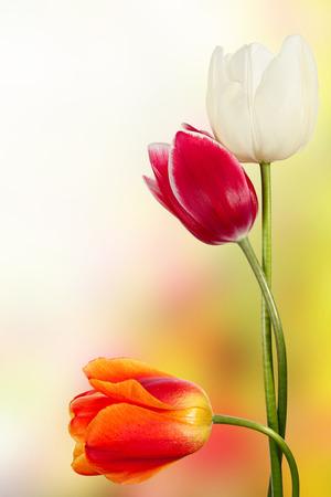 sun flowers: Spring flowers. Beautiful tulips in a garden Stock Photo