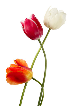 Three spring flowers. Variegated tulips on a white background