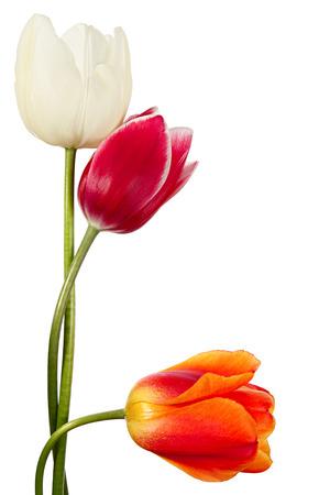tulips isolated on white background: Three spring flowers. Variegated tulips isolated on a white background Stock Photo