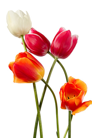 tulips isolated on white background: Five spring flowers. Variegated tulips isolated on a white background Stock Photo
