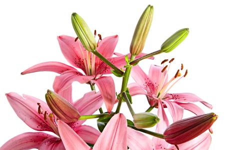 lirio blanco: Flor. Lirio rosa sobre un fondo blanco