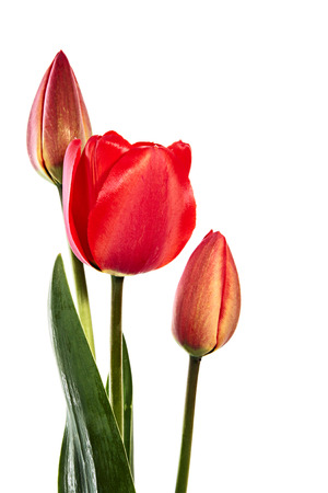 Red tulips isolated on white. One opened flower and two closed flowers