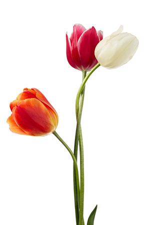 tulips isolated on white background: Flowers design. Variegated tulips isolated on a white background
