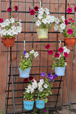 link up: Flowers of a petunia placed before a fence on multistage stand