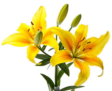 lemony: Beautiful yellow lilies isolated on a white background