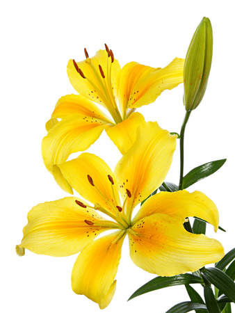 lemony: Yellow lilies isolated on a white background