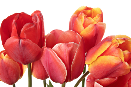 goodly: Close-up tulip flowers