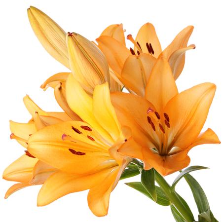 oranje lelie: Oranje lelie bloemen