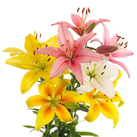 Flowers of varicolored lilies isolated on a white background