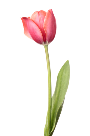 tulips isolated on white background: Tulips. Single pink flower isolated on a white background