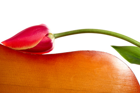 resonator: Tulip on the resonator of a guitar. Isolated on white