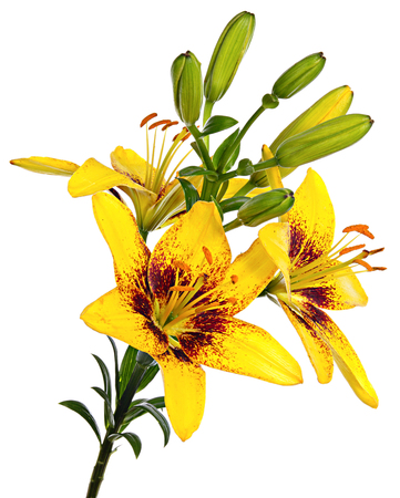 loveliness: Beautiful yellow lilies isolated on a white background