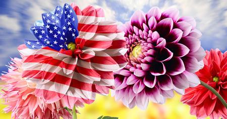 Unusual USA flag among of dahlia flowers