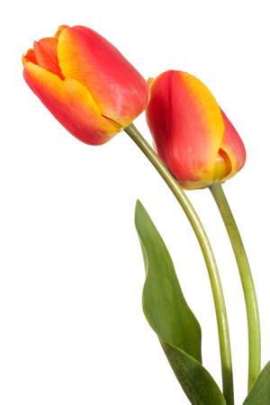 Two tulip flowers