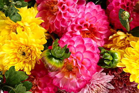 goodly: Floral background from chrysanthemums and dahlias