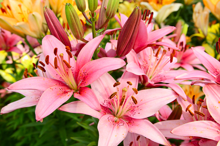 lemony: Luxury flowers of lilies on a flowerbed Stock Photo