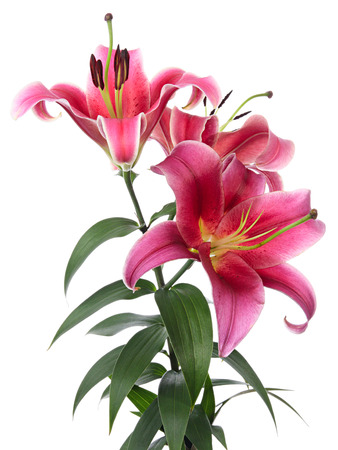 bourgeon: Beautiful pink lilies isolated on a white background