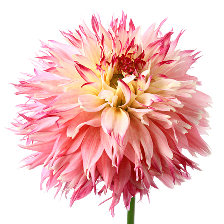 vermeil: Close-up of beautiful red dahlia isolated on a white background Stock Photo