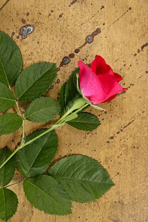 brassy: Idea with flower. Rose on brazen background Stock Photo
