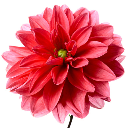 incarnadine: Close-up of beautiful red dahlia isolated on a white background Stock Photo