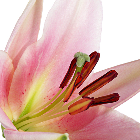 lemony: Flowers. Close-up of pink lily isolated on white