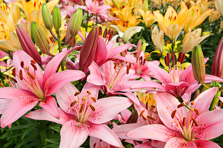 lemony: Summer flowers. Lilies on a flowerbed Stock Photo