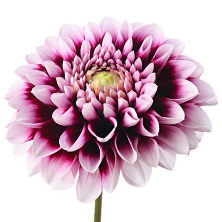 incarnadine: Close-up of beautiful purple dahlia isolated on a white background Stock Photo