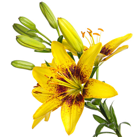 lemony: Unusual yellow lilies isolated on a white background