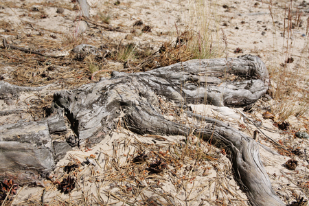 aridness: Natural pattern old roots tree in sand