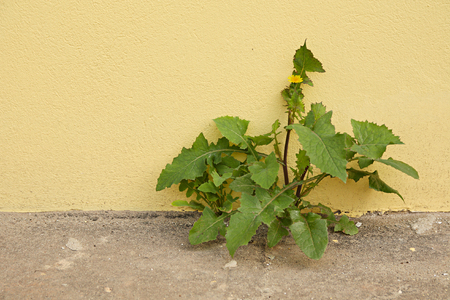 volition: Plant broken through asphalt on a background of a yellow wall