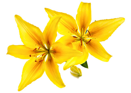 lirio blanco: Modelo de flores del vintage con lirios amarillos aislados en blanco