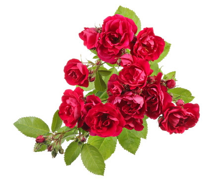 rambler: Flower view with red roses on a white background