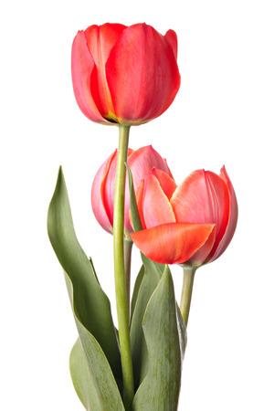 red tulip: Three red tulip flowers Stock Photo