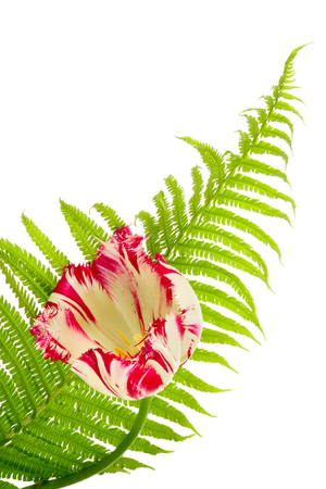 brake fern: Floral still-life. Tulip and brake on a white background