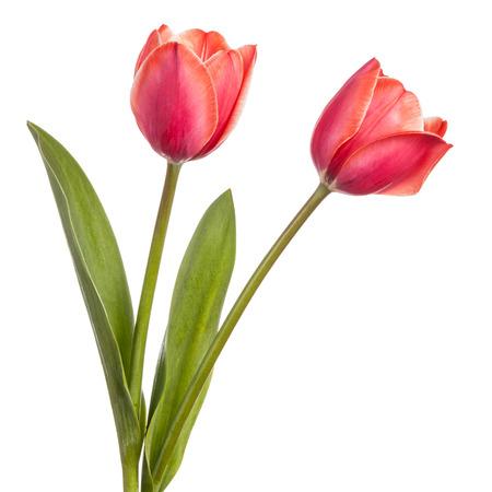Dos flores de tulipán aislados en un fondo blanco