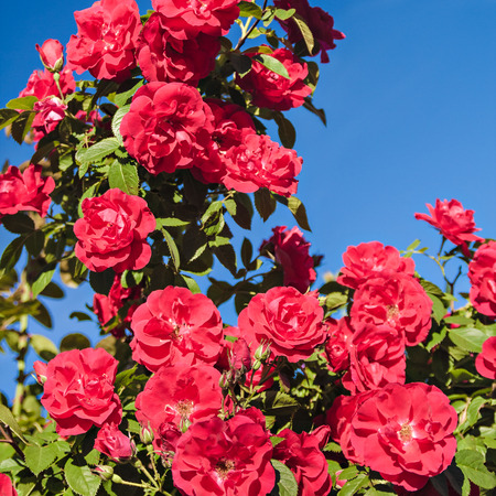 rambling: Curling rose on background of blue sky Stock Photo