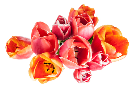 tulips isolated on white background: Flowers card with tulips isolated on white background