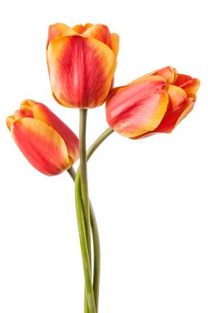 tulips isolated on white background: Flowers card with three tulips isolated on a white background