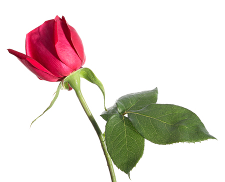 Flowers. Rose isolated on a white background