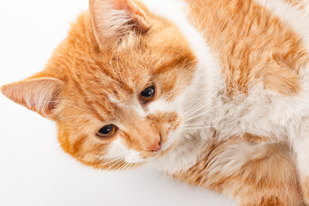 red cat: Red cat on white background